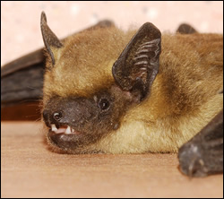 bat removal Sachse