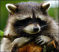 raccoon removal Sachse