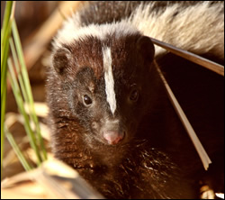 skunk removal Sachse